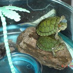 Уход за водяными черепахами красноухими в домашних условиях 352