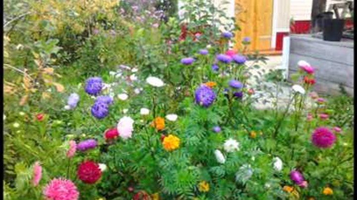 Альпийская астра: лучшие сорта, посадка, уход и применение в саду | 405x720