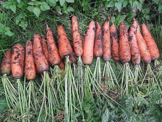 в огороде под морковь заняли