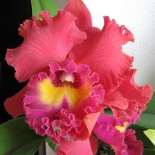 Фото орхидей: фаленопсис, башмачок, каттлея и редкие орхидеи
