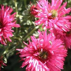 Найти название всех садовых цветов