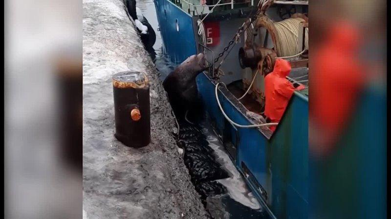 В Северо-Курильске сивуч требует у рыбаков часть улова