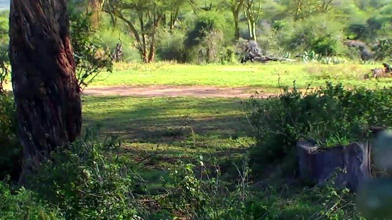 Африка дикая природа Кении Жизнь молодых гиппопотамов и бегемотов