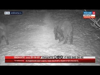 В Бузулукском районе обнаружена африканская чума свиней, от которой начали гибнуть дикие кабаны
