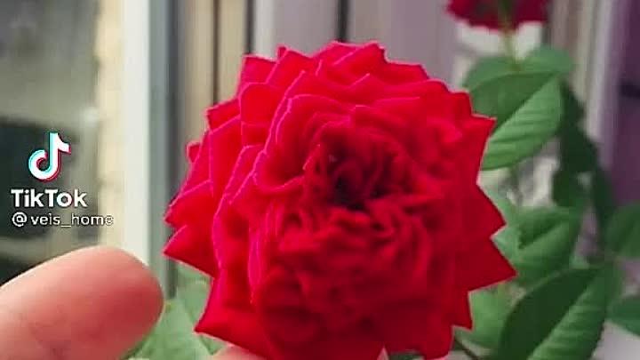 паутинный клещ на розе.mp4