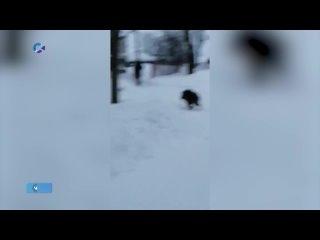 Жители посёлка Ладва Прионежского района сняли на видео дикого кабана