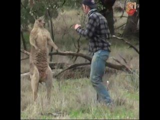Мужик vs Кенгуру