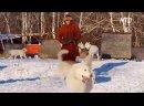 В Самарской области разводят новую породу собак – святорусский вой — Новост.mp4