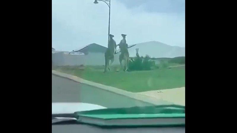 Бійка кенгуру