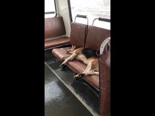 Необычный пассажир в димитровградском автобусе 🐶
