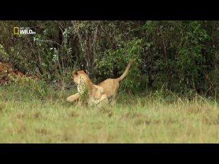 Мангуст против львов