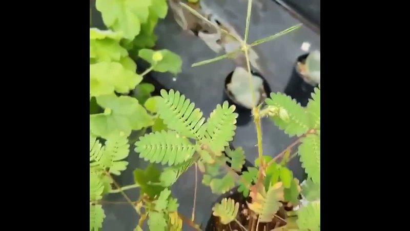 Очень необычное и красивое растение мимоза стыдливая которая от любого прикосновения сразу же съеживается