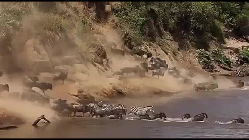 Великая миграция животных в Африке