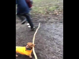 Собака пытается пронести длинные палки