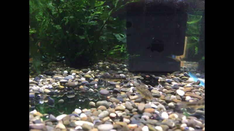 Аspidoras spilotus Аспидорас двухпятнистый (минисомик - максимальный размер 3,0 см) очень мирный, очень забавный.