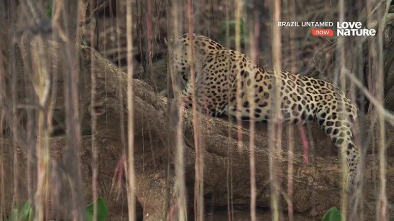 Дикая Бразилия Прибежище ягуаров