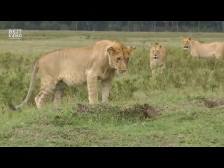 Львы против мангуста.mp4