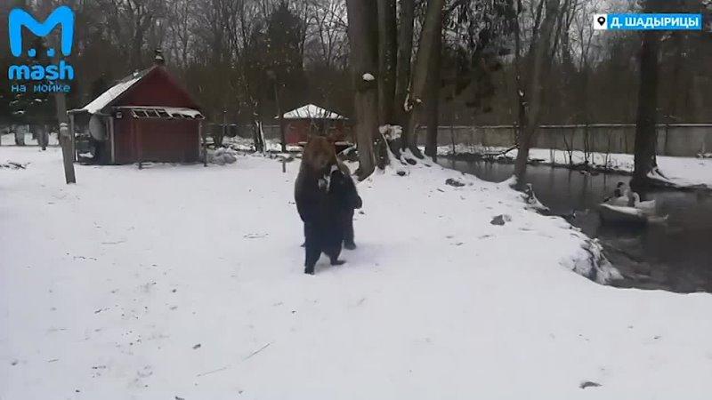 Бурая медведица подружилась с собаками