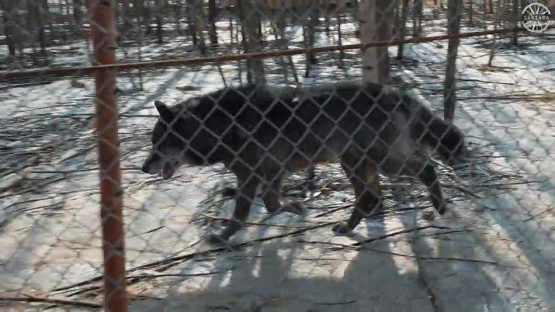 САМЫЙ ГИГАНТСКИЙ ВОЛК В МИРЕ Невероятная история канадского волка Giant wolf Dump