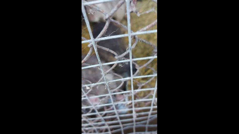 какие то водяные крысы переростки