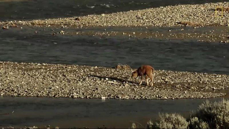 Una cría de bisonte se enfrenta a un lobo y gana National Geographic 480P mp4