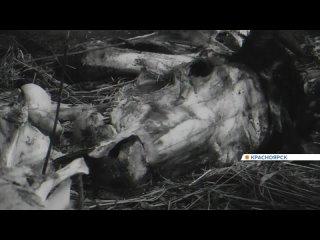 На берегу Енисея под Красноярском нашли свалку трупов животных