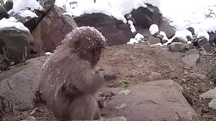 снежные обезьяны Япония Japanese snow monkeys (360p).mp4