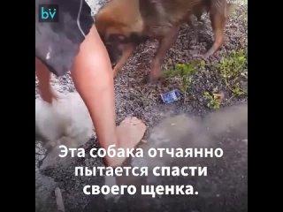 Собака пытается спасти своего щенка (720p).mp4