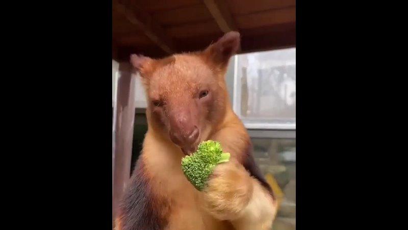 Древесные кенгуру.mp4