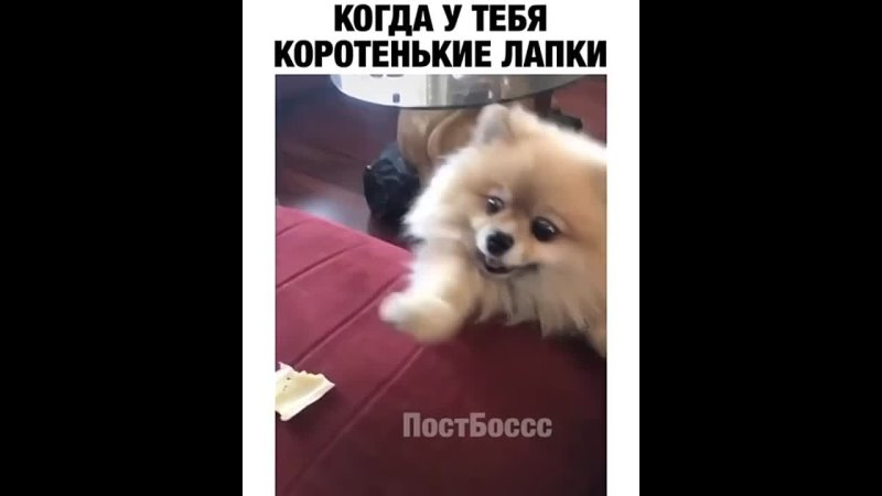 Короткие лапки хорошее настроение юмор забавное домашнее видео короткие лапки собачка еда домашний уют песик псина