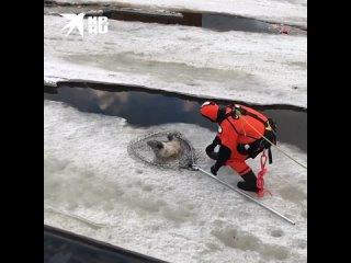 Спасатели поймали истощенного тюлененка в центре Санкт-Петербурга
