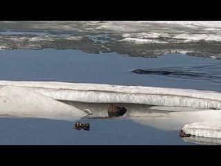 Бобр плавает в Ижевском пруду