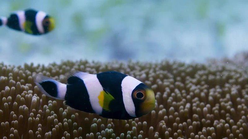 Семья полосатых рыб клоунов