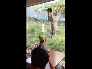 Тигр это тот котик но покрупнее