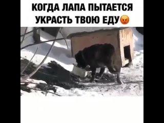 Собака дерётся со своей лапой из-за еды прикол