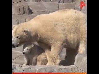 Медвежонок защищает маму В