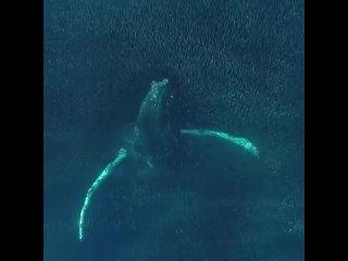 Горбатый кит играет со стаей рыб