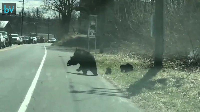 Медведица изо всех сил пытается перевести своих медвежат через дорогу а те не хотят