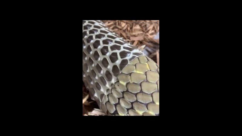 королевская кобра сбрасывает старую кожу