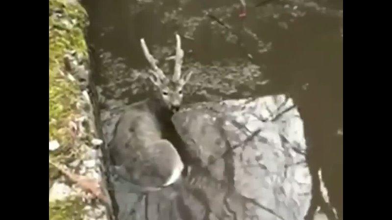 новостироссии спасение олень 🦌 Спасатели вытащили молодого оленёнка из трёхметровой ямы с водой на окраине Биробиджана в ЕАО