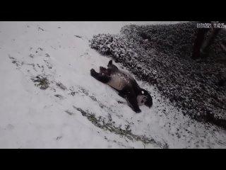 Вот бы радоваться снегу и вообщем жизни, как эта панда