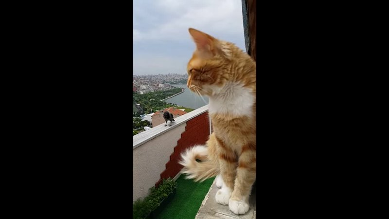 Ворона и кот переговариваются