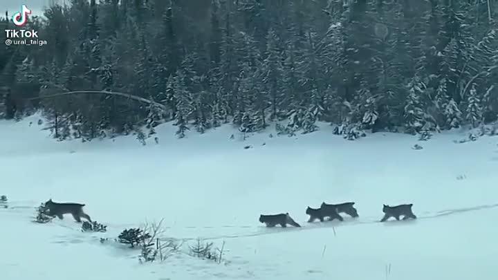 Мама-рысь с котятами