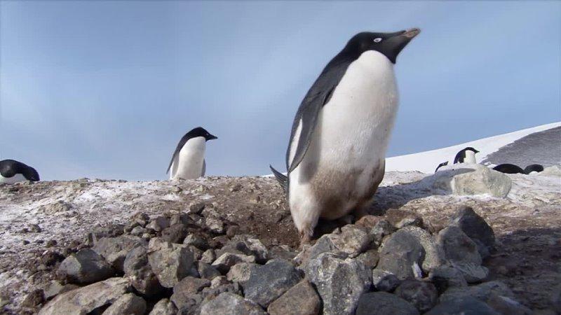 Антарктида. Весна. Прибытие пингвинов Адели. Строительство гнезда и пингвины-воришки.