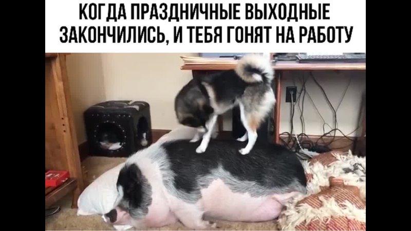 Собака будет хрюшу