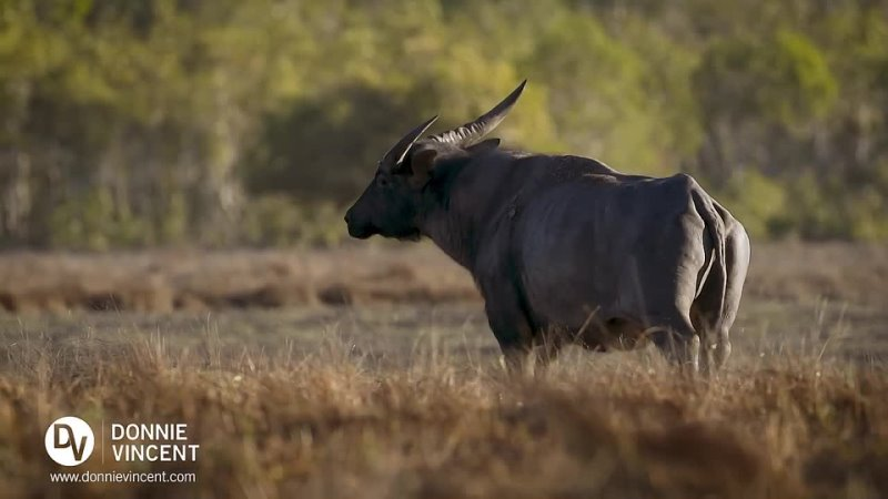 Extremely Rare Footage_ Pack of Dingoes Hunting Asiatic Water Buffalo in Austral