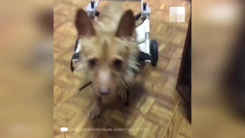 В Екатеринбурге ищут дом собаке на коляске которую после аварии бросили хозяева