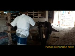 Best_Amazing_Cow_Meeting_Big_Cow_And_Big_Bills_Supper_Cow_Meeting_Cow_Crossing_2020(1080p).mp4