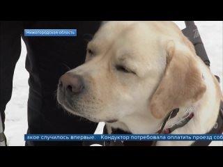 В Нижегородской области кондуктор высадила из автобуса незрячего пассажира с собакой-поводырем.