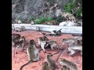 Обезьяны пытаются спасти сородича от питона 🐍🐒